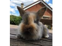 Bunnies Lop x
