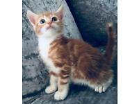 Ginger Male Kitten