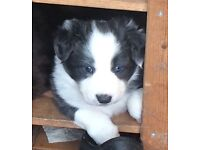 Blue and White Border Collie Puppy