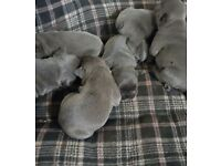 Truly outstanding blue french bulldog puppies for sale