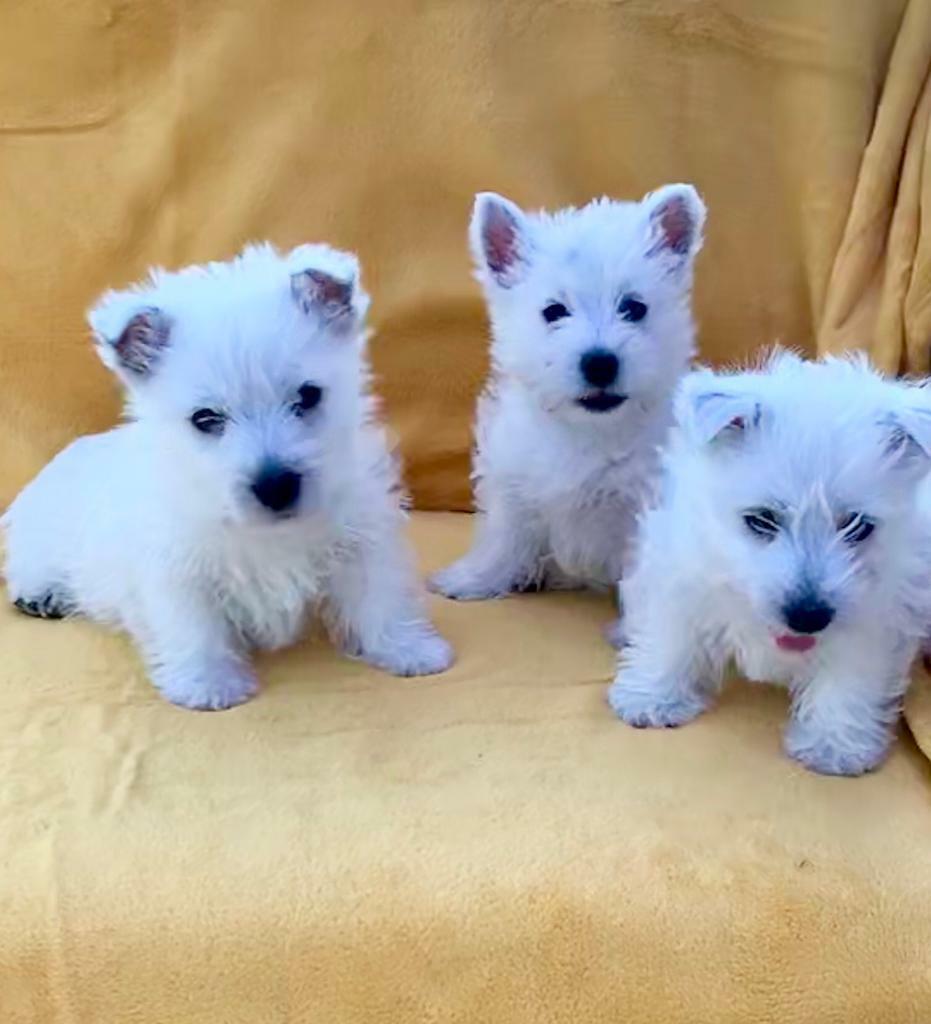 Buy Westie Puppies In Georgia USA