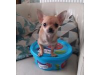 T CUP FEMALE CHIHUAHUA smoothcoat £800