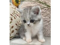 Exotic silver and white male kitten