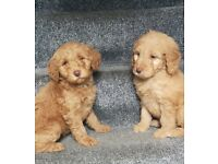 Gorgeous F1b Goldendoodle puppies ready now