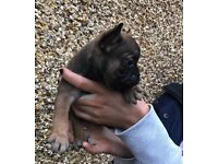 French BullDog £650 If gone today