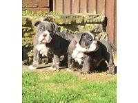 Neapolitan Cross English Bulldog