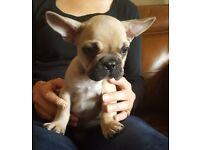 Beautiful KC French Bulldog Puppies