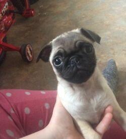 Kc registered pug puppies