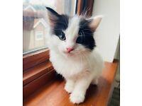Turkish Angela X Van Kittens For Sale (Beautiful Blue Eyes)