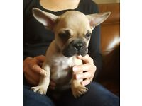 Beautiful KC French Bulldog Puppies