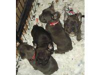French bulldog kc blue puppies