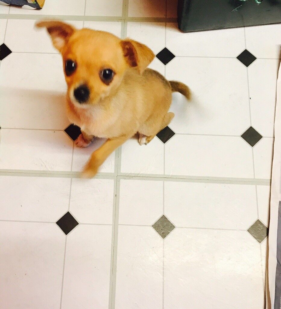 Cute Chihuahua x Jack Russell need new home ASAP