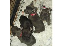 French bulldog kc registered blue puppies