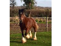 OUT STANDING SHOW QUALITY 13.2HH 6 YEAR OLD MARE