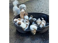 Shichon puppies(Bicheon/Shih tzu) for se