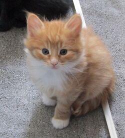 Ginger kittens (male) long haired