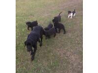 Kc reg Labrador pups