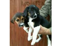 Beagle cross collies sold
