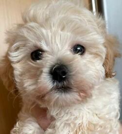 F1 Maltipoo pups for sale