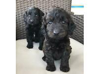Beautiful f1 toy cockapoo puppies ready now
