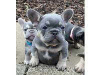 Gorgeous Lilac Tan French bulldog girl puppy, kc reg, health tested parents