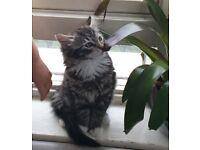 Sweet Fluffy Maine coon girl cat/kitten