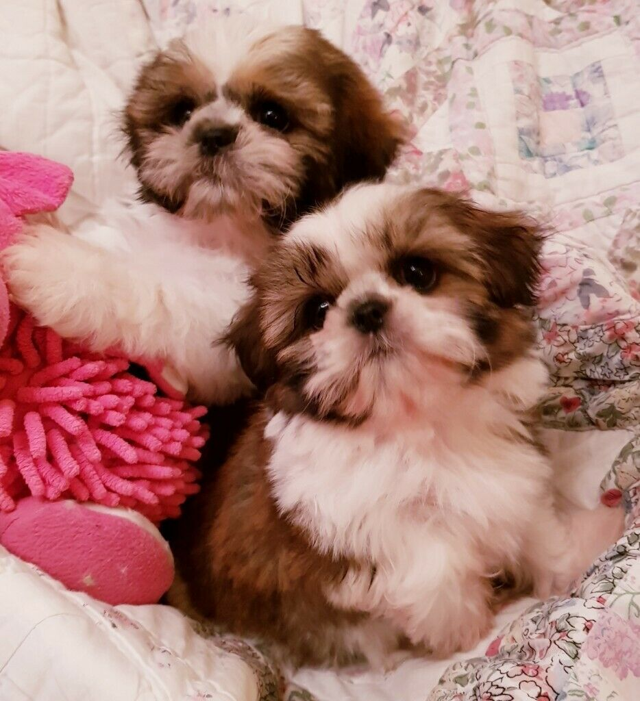 Adorable Kc Registered Imperial Shih Tzu Puppy In Dorchester