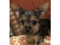 Chorkie Puppies (Yorkshire Terrier x Chihuahua)