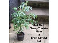"Tomato Plants ""Red Alert"" in 17cm 6.8"" 2Lt Pots £4.00 each Growing outdoors with Flowers and Fruit."