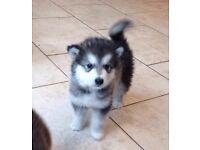 4 KC reg Alaskan Malamute Pups for sale
