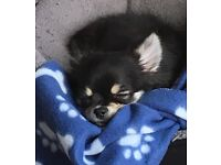 pedigree male long haired chihuahua for sale