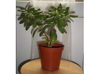 House Money Plant (Jade Plant)