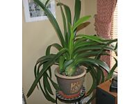 Indoor Clivia House Plant