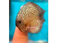 Discus Lightning 3 inch £18each 2 inch £10