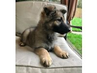 Stunning German shepherd puppy