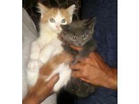 Grey kitten and ginger and white kitten left