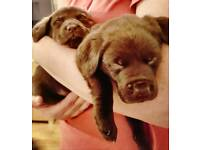 Choc labs priced reduced!!!!