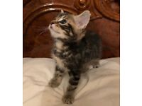 Beautiful Kitten for sale - money goes to charity!