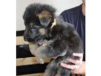 german shephard puppies