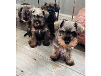 Miniature Schnauzer Puppies 2 boys left