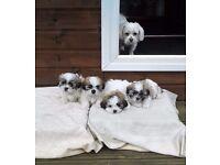 4 Malshi Puppies Girls