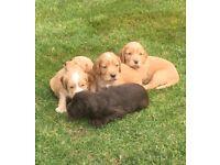 Six beautiful spaniel puppies