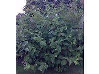 7 Year Old Large Full Hardy Perennial Shrub, Plant