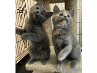 GORGEOUS GREY STRIPE & GREY MOTTLED GIRL KITTENS READY NOW