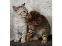 baby bengal kittens