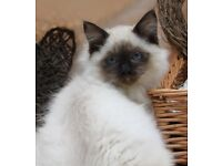 GCCF Registered Pedigree Ragdoll Kitten (Ready Now)