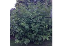 6 ft X 6 ft Large Full Hardy Perennial Shrub