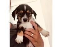 Boy puppie Chihuahua , Lhasa Apso - (Chi Apso)