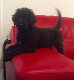 Gorgeous black Standard Poodle puppies for sale