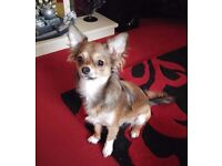Beautiful Long Haired Female Chihuahua - Pedigree